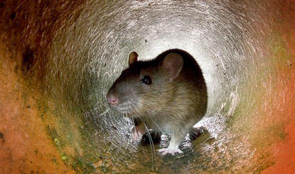 Perché i giardini di Torino sono infestati dai topi?