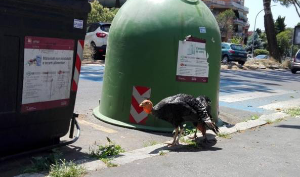 Roma: «Zoo-Capitale», ecco i tacchini I pennuti a spasso per Monteverde