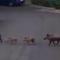 Roma, nel parcheggio dell'ospedale Forlanini spunta una famiglia di cinghiali