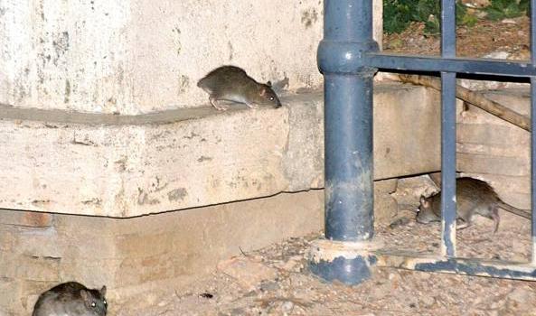 Sterilizzare i topi, città divisa I residenti: serve pulire le vie